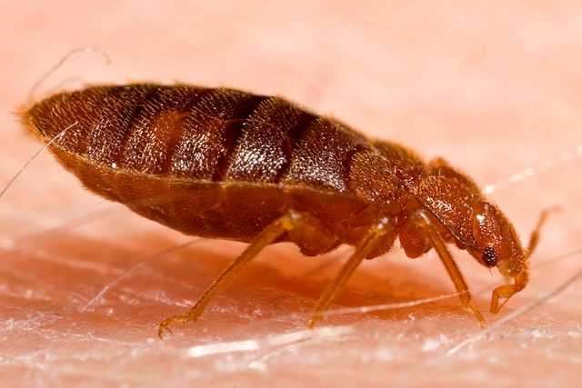 Bed Bug Bully Reviews >> The Bed Bug History That You Need To Know